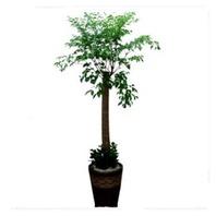 행복나무(해피트리)